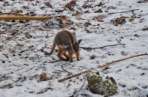 kangaroo-wallaby-joey-credit-brno-zoo